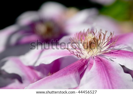 Pink and white clematis flower closeup on sunny summer day. - stock photo