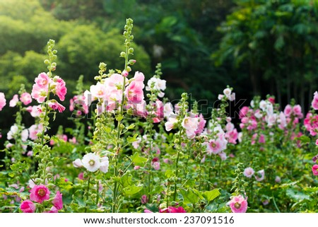 pink and white hollyhock flower in the garden - stock photo