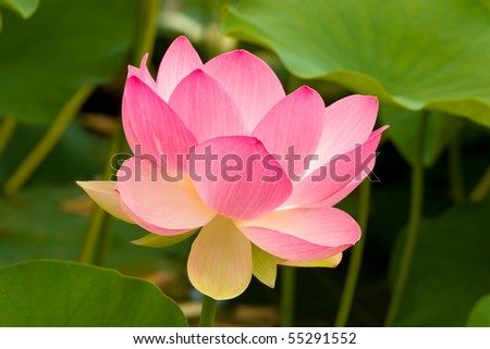 Pink and White Lotus flowers Or Water lilies - stock photo