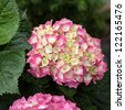 Pink and white Mophead Hydrangea blooms and leaves - stock photo