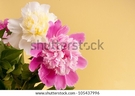 Pink and white peonies it is removed in studio