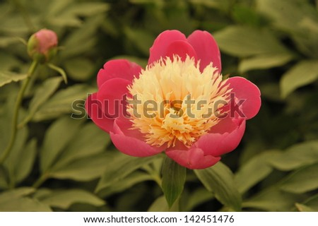 Pink and white peony in full bloom, accompanied by a second flower in bud - stock photo