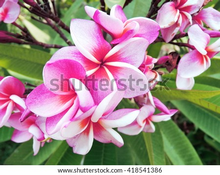 Pink and white plumeria flowers - stock photo