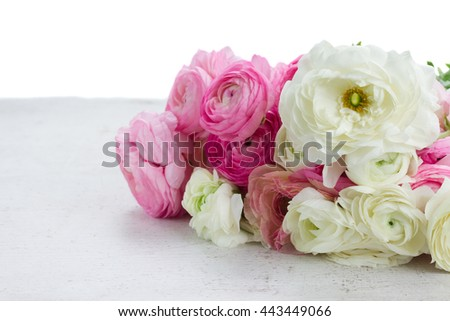 Pink and white ranunculus fresh flowers on white table border isolated on white background
