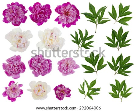 Pink and white real peonies - flowers and leaves big  set. Isolated on white collage from several photos - stock photo