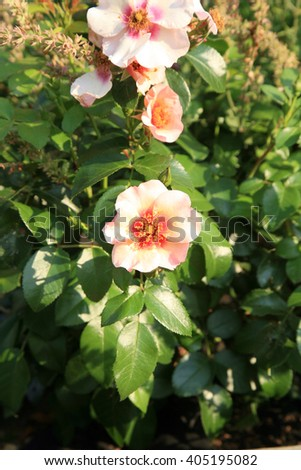 Pink and white rose Bright as a Button also called Peace and Love, flower details.  - stock photo