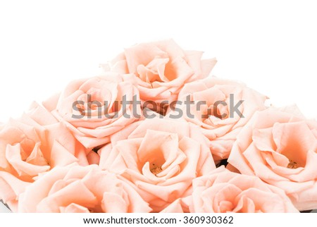pink and white rose on white background - stock photo