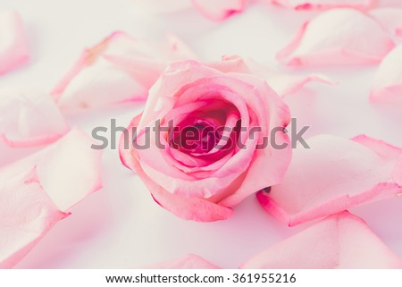 pink and white rose with petal - soft focus and vintage effect picture style - stock photo