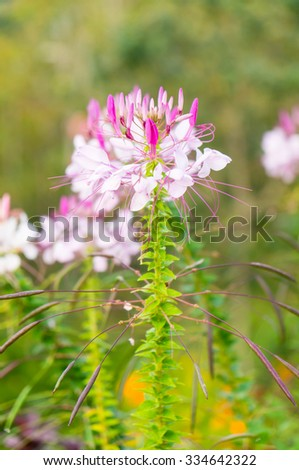 Pink And White Spider flower(Cleome hassleriana) in the garden  - stock photo