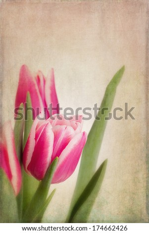 Pink and white tulip flowers with copyspace. Vintage effect, textured processing - stock photo