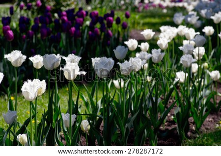 pink and white tulips in the garden - stock photo