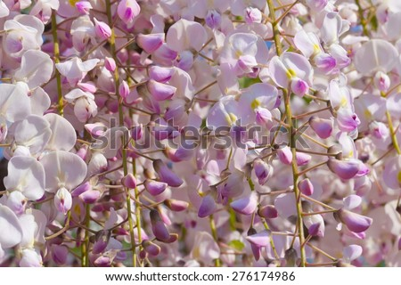 Pink and white wisteria in the sunlight