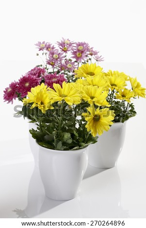 Pink and yellow chrysanthemums in flower pot on white background