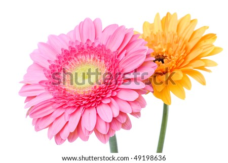 Pink and yellow daisy-gerbera isolated on white