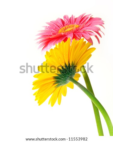 Pink and yellow gerber flowers on white background - stock photo