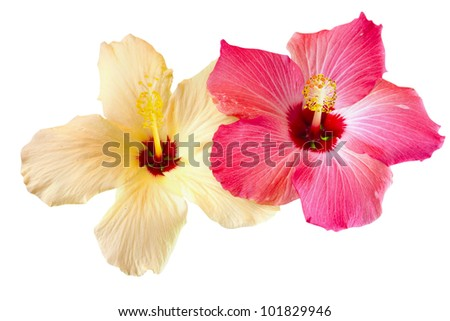 pink and yellow hibiscus blooms isolated on white - stock photo