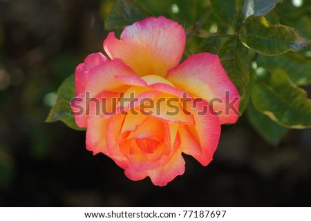 Pink and yellow rose - stock photo