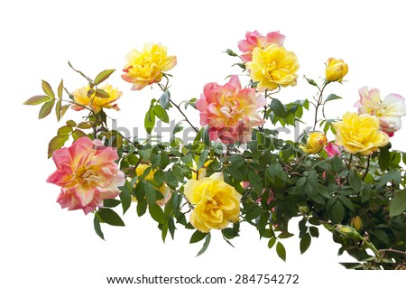 pink and yellow rose bush isolated on white background - stock photo