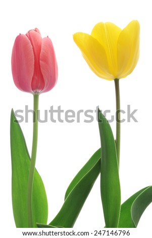 Pink and yellow tulips isolated on white background   - stock photo