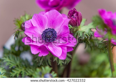 Pink Anemone close up at Amsterdam flower market - stock photo