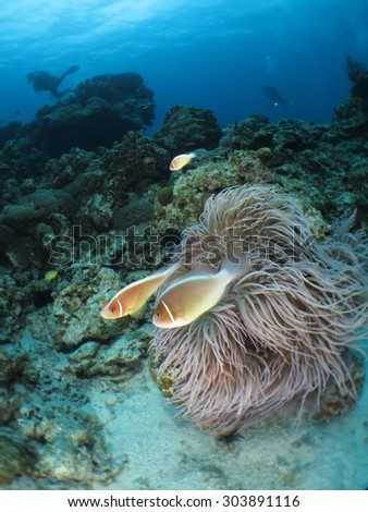 Pink anemone fish family in one big sea anemone in Kerama island ,Okinawa,japan - stock photo