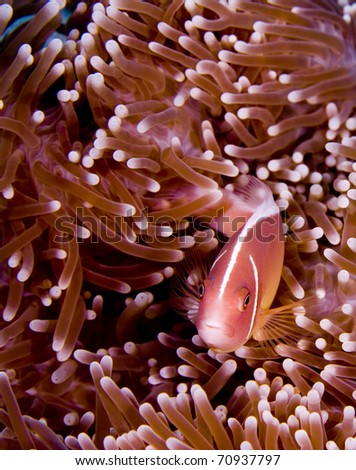 Pink anemonefish (Amphiprion perideraion) looking into the camera while hiding in a pink anemone. Taken in the Wakatobi, Indonesia - stock photo