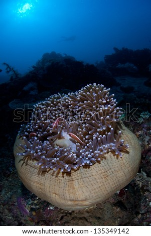 Pink anemonefish (Amphiprion perideraion) snuggle into the tentacles of their host anemone (Heteractis magnifier) on a reef in Indonesia. - stock photo