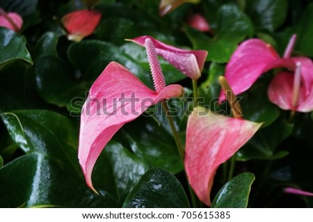 Pink anthurium flower flamingo flower after stock photo 705615385 pink anthurium flower or flamingo flower after the rain mightylinksfo Images