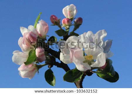 pink apple flowers against blue sky