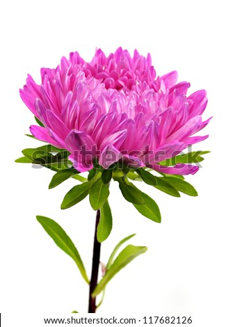 violet aster flower stock images, royaltyfree images  vectors, Beautiful flower