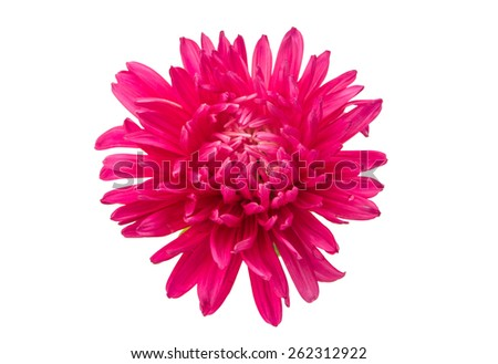 pink aster flower on a white background - stock photo