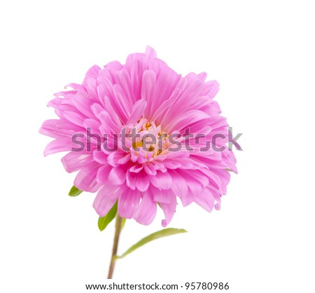 pink aster isolated on white background - stock photo