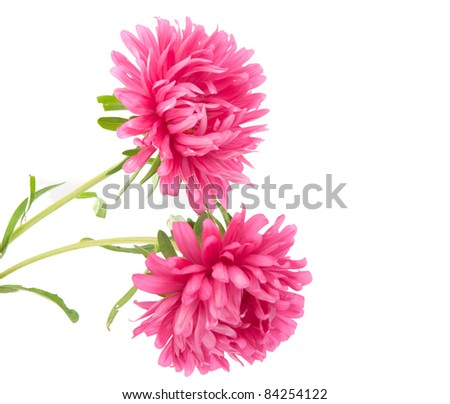 Pink aster on a white background - stock photo