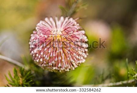 Pink Australian grevillea - stock photo