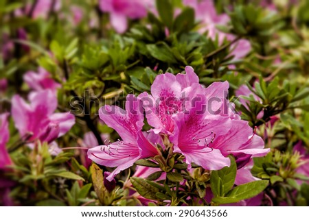 Pink azalea blossom. Rhododendron ponticum, called common rhododendron or pontic rhododendron - stock photo