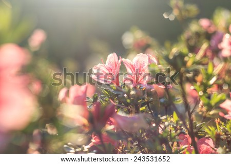 pink Azalea flower ,Azalea flower in the morning - stock photo