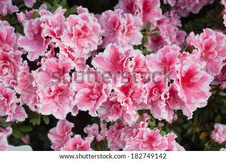 Pink azalea flower blooming all over the field - stock photo