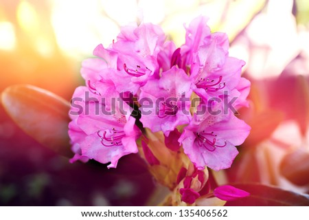 Pink azalea flowers - stock photo