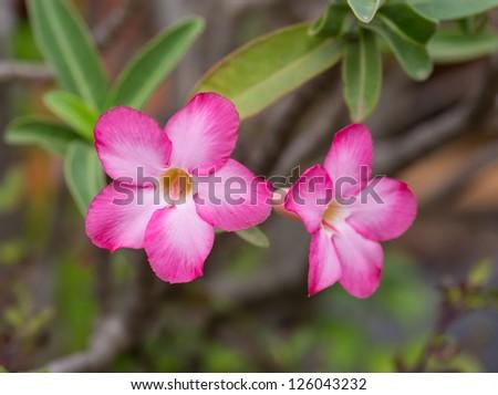 Pink Azalea flowers of thailand - stock photo