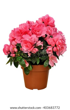 pink azalea in a brown pot isolated on white