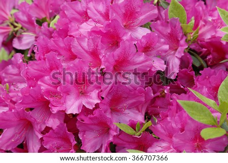 Pink Azaleas (Rhododendron) in the spring - stock photo