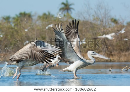 Pink-backed Pelicans (Pelecanus rufescens) during take off in the mangroves - stock photo