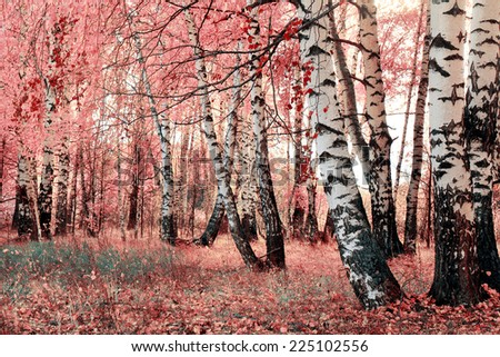 pink birch grove - stock photo