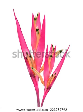 pink bird of paradise isolated on white background - stock photo