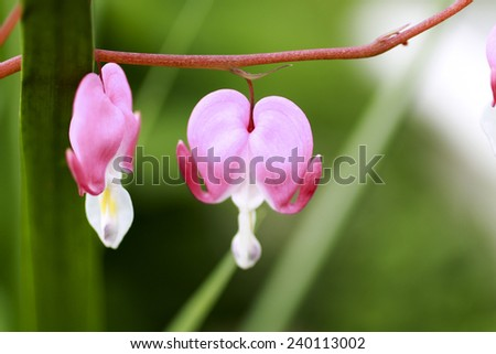 Pink bleeding heart flowers on green foliage background  - stock photo