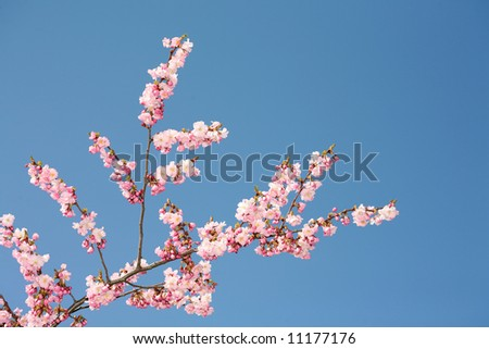 pink bloom blossom blue sky spring season nature beauty - stock photo