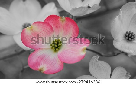 Pink bloom on the flowering dogwood tree set off against black and white background - stock photo