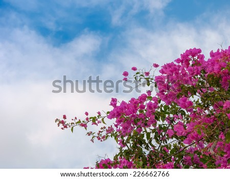 Pink blooming bougainvilleas against the blue sky. - stock photo