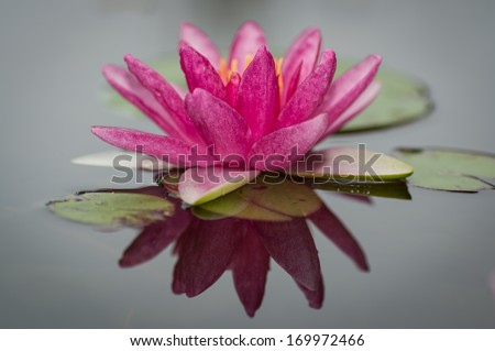 Pink blooming water lily and reflection in pond - stock photo