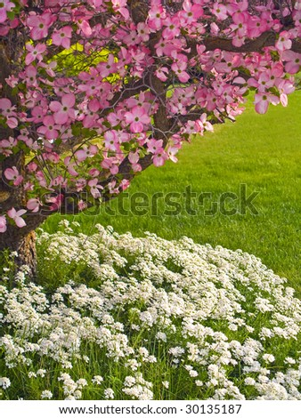 Pink blooms adorn a Dogwood tree in spring. - stock photo